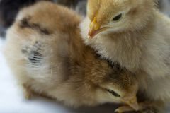 Bantam Chicks Two Royalty Free Stock Images