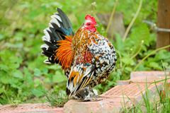 Bantam. With colored plumage stock photos