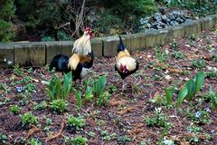 Bantam and hen in the park. Bantam and hen in the zoo of Landau, Germany stock images