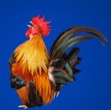 Bantam craws isolated Royalty Free Stock Photography