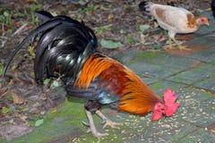 Bantam del pollo, gallo che mangia riso sul pavimento Fotografia Stock