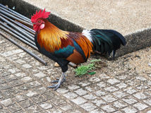 Bantam drobiowi piękni jaskrawi kolory Zdjęcie Royalty Free