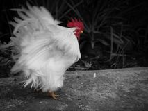 Bantam Flapping The Wings. The Bantam Flapping The Wings on Black and White Background royalty free stock images