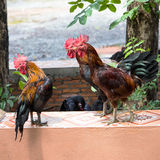 Bantam gaze some. Royalty Free Stock Photos