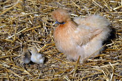 Bantam hen and baby chicks Stock Images