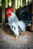 Bantam Stock Photo