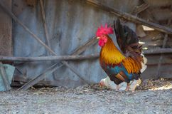 Bantam. Male with beautiful feathers. Is a beautiful animal stock photo