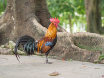 Bantam. Male bantam colorful in garden Royalty Free Stock Image