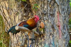 Bantam perches on the branch. Royalty Free Stock Image