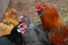 Bantam, Rock, and valdarno chickens Stock Image