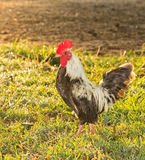 Bantam rooster in early morning Stock Photography