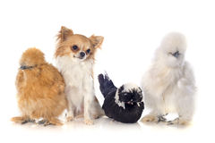 Bantam chicken and chihuahua Royalty Free Stock Image