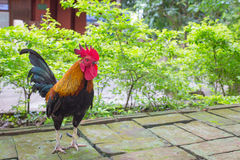 Bantam, Thailand. A male bantam in wat of Thailand Royalty Free Stock Image