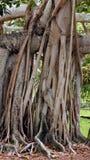 Bantambaum Stockbilder