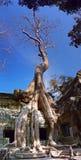 Bantambaum-Baum, der über Angkor Tempel wächst Stockbild
