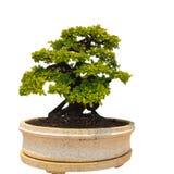 Bantambaum- oder Ficusbonsaibaum Lizenzfreies Stockfoto