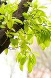 Bantambaumblätter Stockfotografie
