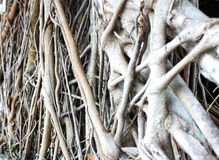Bantambaumwurzeln Lizenzfreie Stockbilder
