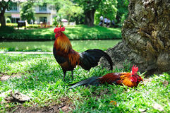 Bantams. In thailand asia stock photography