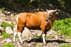 banteng公牛红色 免版税库存图片