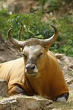 banteng公牛红色 免版税库存照片