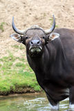 Banteng公牛 免版税库存图片