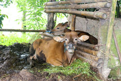 Banteng在几个地方被驯化了在东南亚,也称巴厘岛牛 免版税库存照片
