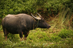 Banteng或红色公牛 免版税图库摄影