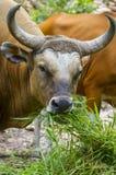 Banteng或红色公牛 免版税库存图片