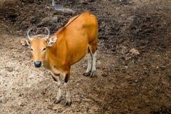 Banteng,野生牛 免版税库存照片