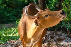 Banteng ή κόκκινος ταύρος στο πάρκο στοκ φωτογραφία με δικαίωμα ελεύθερης χρήσης