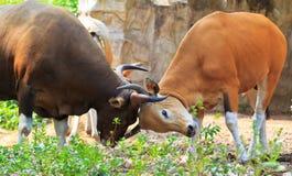 Banteng или красный Bull Стоковая Фотография RF