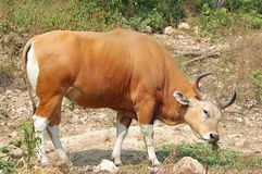 Banteng Royalty Free Stock Photography