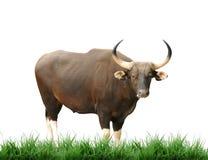 Banteng Stock Image