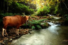 Banteng Stock Photo