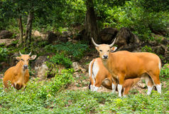 Banteng Royalty Free Stock Photo