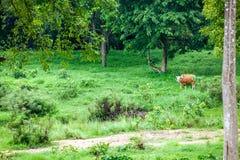 Banteng Photos libres de droits