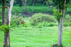 Banteng Image stock