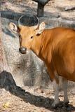 Banteng. The beautiful female banteng in thailand Royalty Free Stock Images