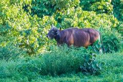 Banteng (Bos javanicus) Stock Images