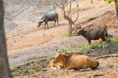 Banteng (Bos javanicus) Royalty Free Stock Image