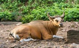 Banteng (Bos javanicus) Stock Photos