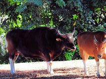 Banteng bull behind cow in zoo Royalty Free Stock Image