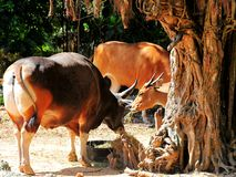 Banteng bull (left) and cow eating Royalty Free Stock Image