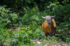 Banteng bull Royalty Free Stock Images
