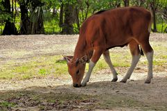 Banteng calf Royalty Free Stock Photography