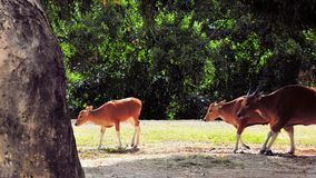 Banteng calf followed by two cows Stock Photography