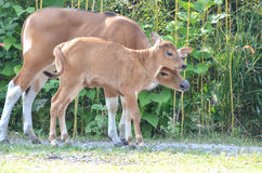 BANTENG CALVES2 Royalty Free Stock Photo