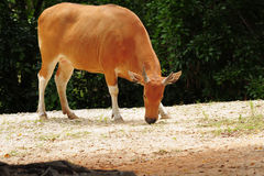 Banteng Cow Royalty Free Stock Images
