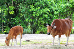 Banteng Cow & Calf Stock Photography